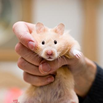 A hamster that isn't being used for power generation. But it looks alarmed at the idea. (Photo credit: Flickr/JesseBarker.)(CC licence.)