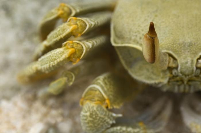 A close up image of a crab.
